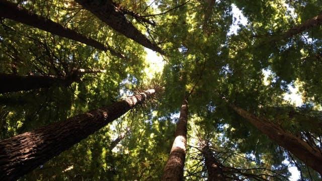Redwood Forrest Guided Meditation.