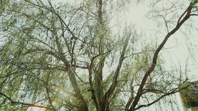 The Vaunted Weeping Willow Tree
