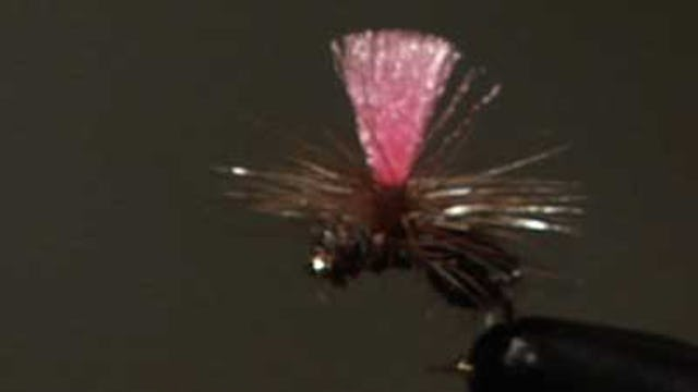 Dave Bloom: Bloom's Black Parachute Ant