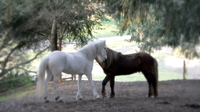 Friends- Icelandic Horses
