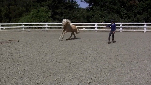 Draumur- trying new 'fancy trot' under saddle