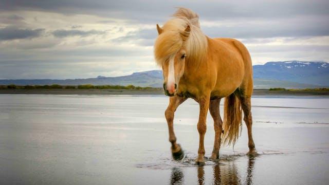 Icelandic Breeders Part 3