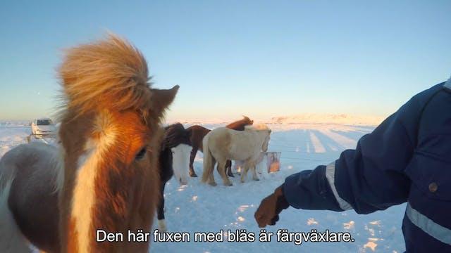 Färgsafari på Island - puff