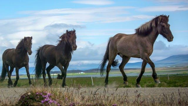 Icelandic Breeders – Part 4
