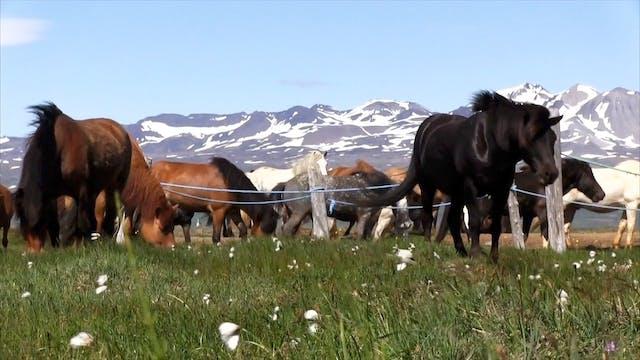 Haffi om att rida på Island
