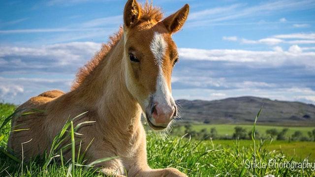 Icelandic Breeders - Part 2