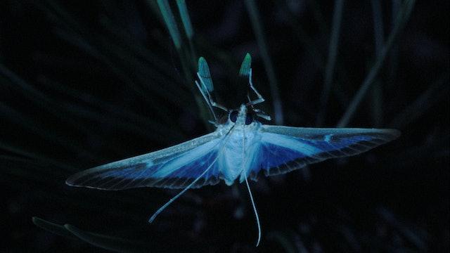 Moth / Pyrale