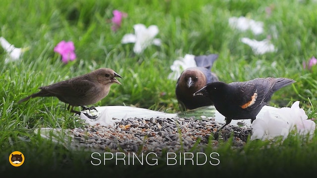 Video for Cats - Spring Birds
