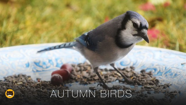Movie for Cats - Autumn Birds and Squirrels