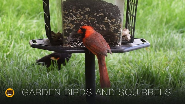 Video for Cats - Garden Birds and Squirrels