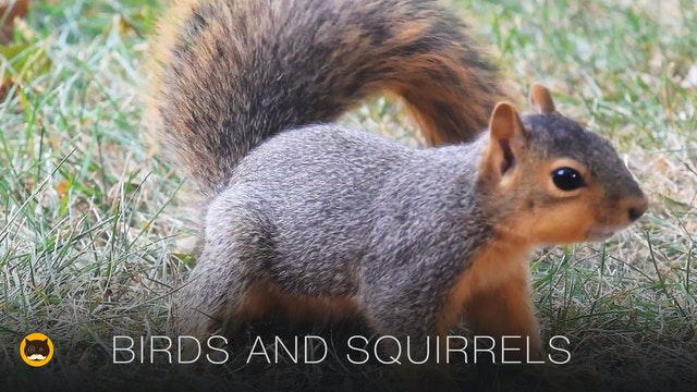Cat TV - Birds and Squirrels