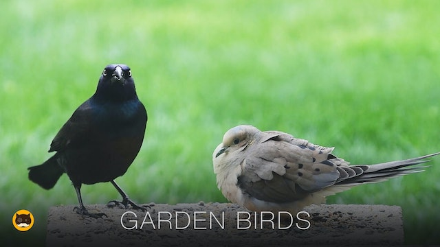 Bird Video for Cats - Garden Birds