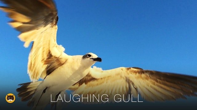 TV for Cats - Laughing Gull