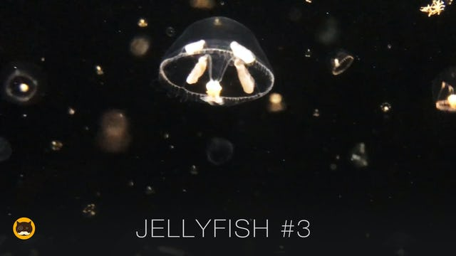 Video for Cats to Watch - Jellyfish #3