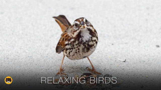 Relaxing Bird Video for Cats  to Watch