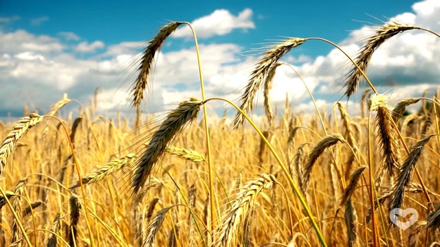 The Wheat and the Tare