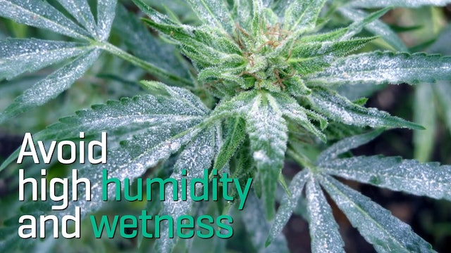 How To Prevent Mold In Your Cannabis Grow