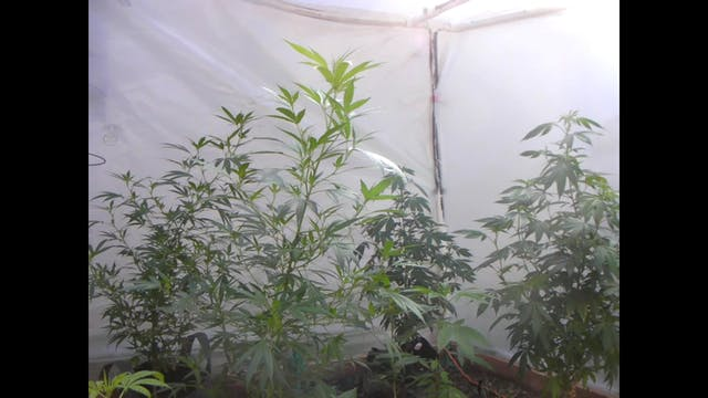 Backyard Boogie Grow of Maui Wowie