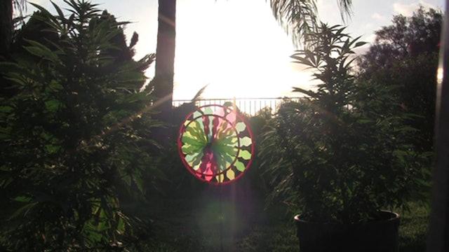 Backyard Pinwheel And Lemon OG