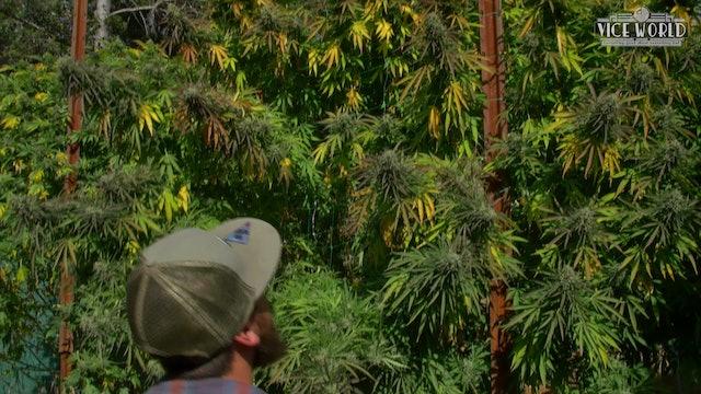 Cannabis of the West  docu-series trailer