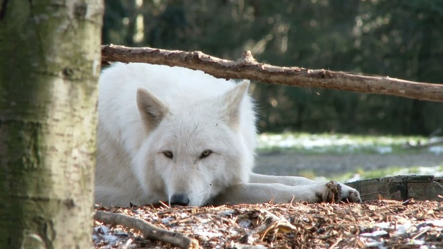 Wolf Zoo Minute