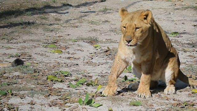 Lion Zoo Minute