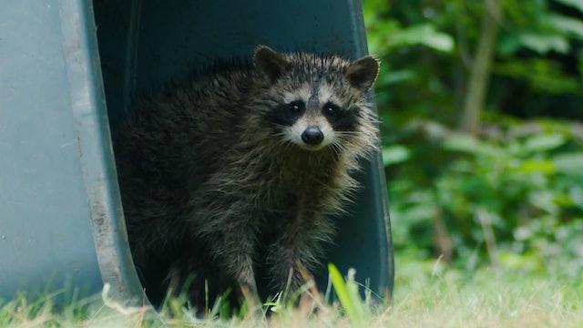 Raccoon Zoo Minute