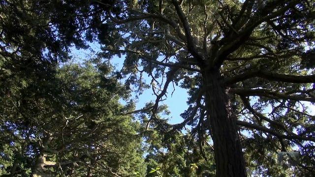 Curious Islander - Trees