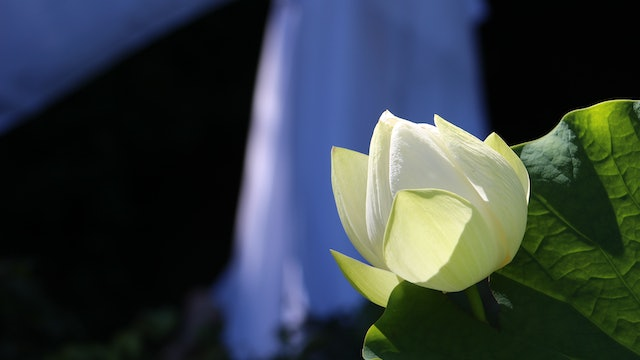 White Lotus Grace Online Sanctuary Subscription