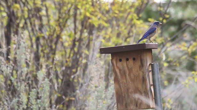 Trapping Western Bluebirds in British Columbia.