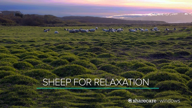 Sheep for Relaxation