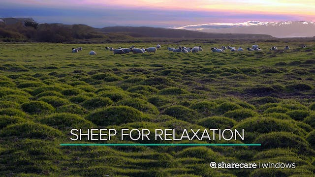 30 Minutes of Sheep for Relaxation