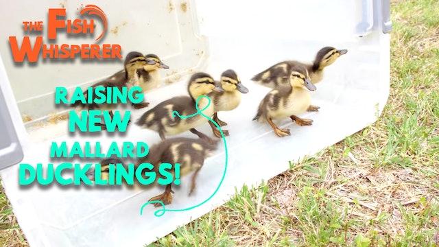 Raising New Mallard Ducklings!