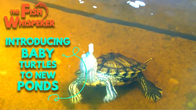Introducing the Baby Turtles to the New Ponds!
