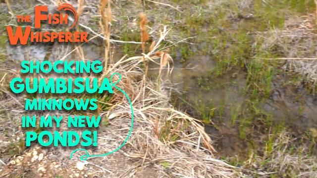 Stocking Gambusia Minnows in my New Ponds!