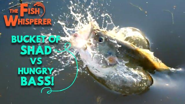 Bucket Of Shad Vs. Hungry Bass!