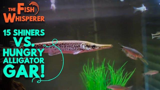 15 Shiners Vs. Hungry Alligator Gar!
