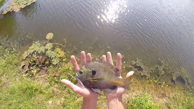 Dropshotting for Big Bluegill