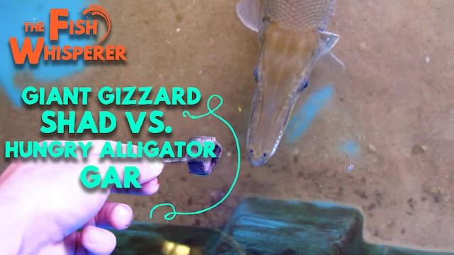 Giant Gizzard Shad Vs. Hungry Alligator Gar!