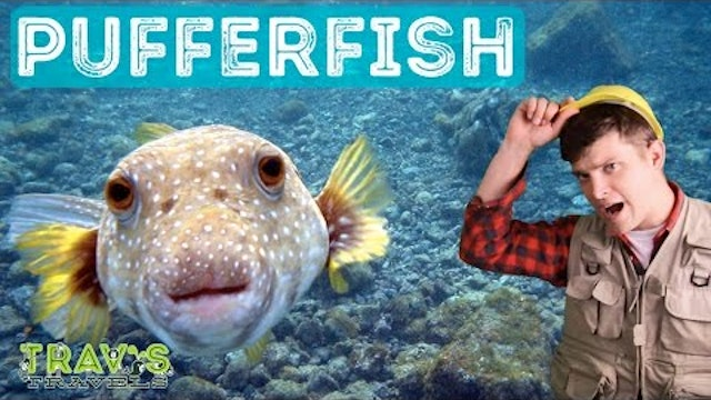 Pufferfish - Animal Facts