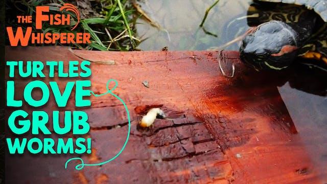Turtles Love Grub Worms!