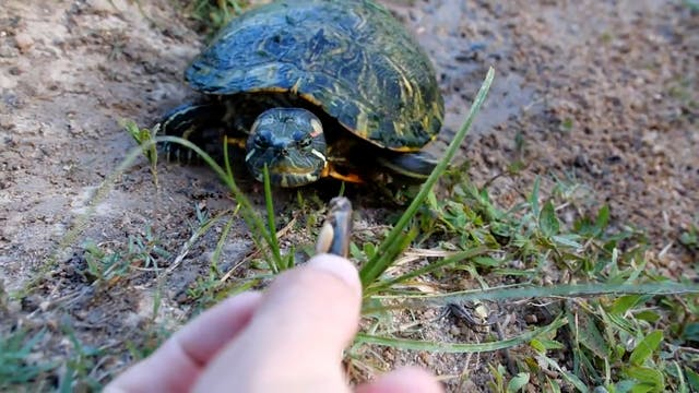 Turtles Love Crickets!