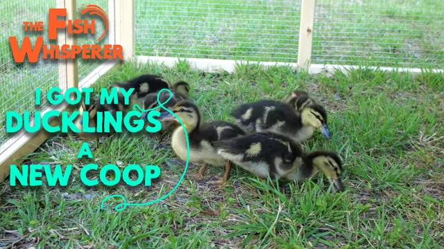 I Got The Ducklings a New Coop!