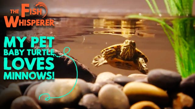 My Pet Baby Turtle Loves Minnows!
