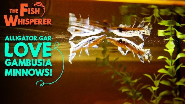 Alligator Gar Love Gambusia Minnows!