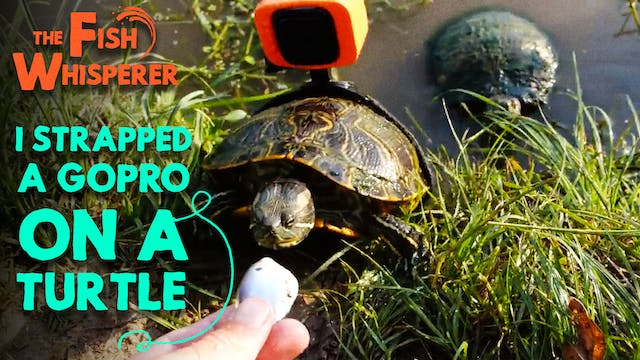 I Strapped a GoPro On a Turtle