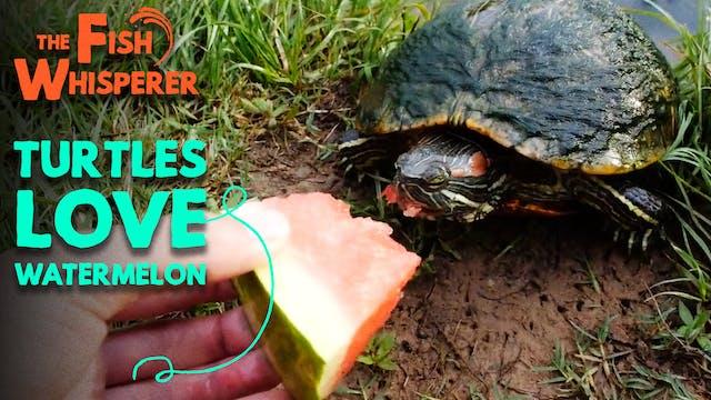 Turtles Love Watermelon!