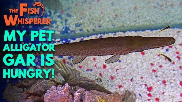 My Pet Alligator Gar is Hungry!!