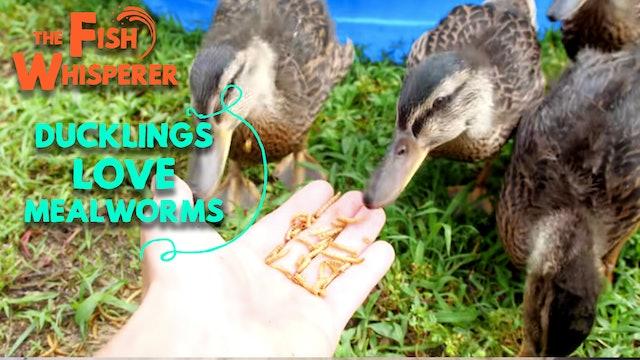 Ducklings Love Mealworms!