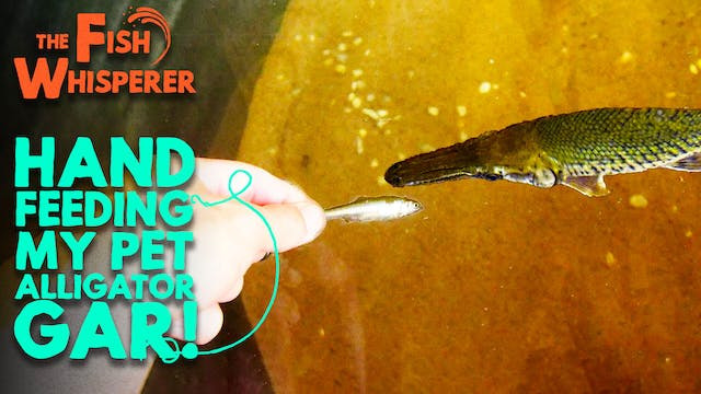 Hand Feeding My Pet Alligator Gar!